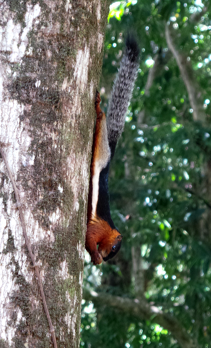 A Prevost Squirrel at the Ranchan Recreational Park in Serian. – Pic by Lily Liew