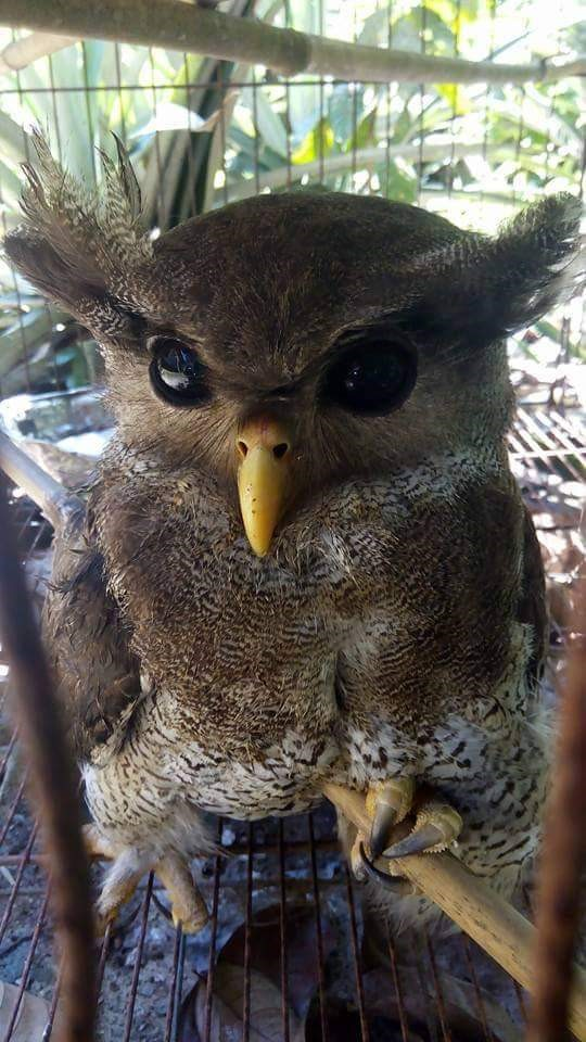 The Barred Eagle Owl which crashed landed in a durian plantation. – Pic by Lily Liew