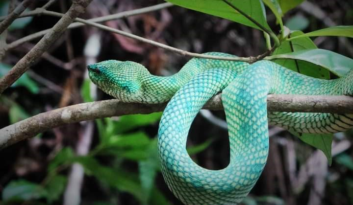 A Wagler's Pit Viper at the Bako National Park. – Pic by Lily Liew