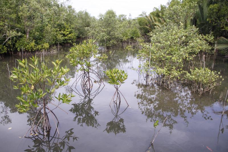 [Image: Healthy_mangroves_for_healthy_wetlands_P..._WWFMY.JPG]