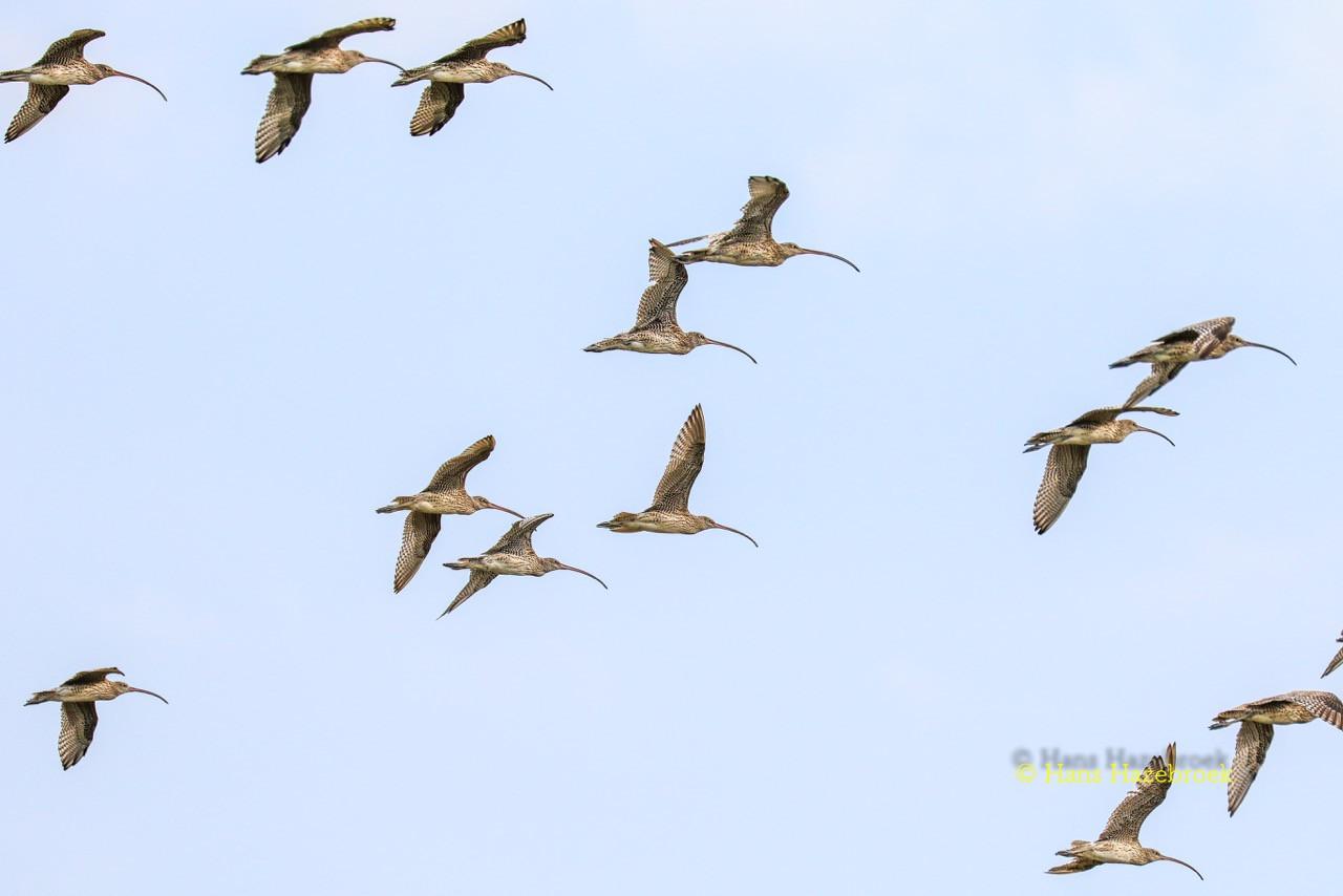 Far Eastern Curlews in flight. – Pic by Hans Hazebroek