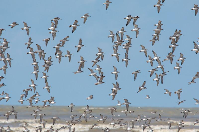 Sarawak wetland a vital habitat for Asia's endangered migratory birds